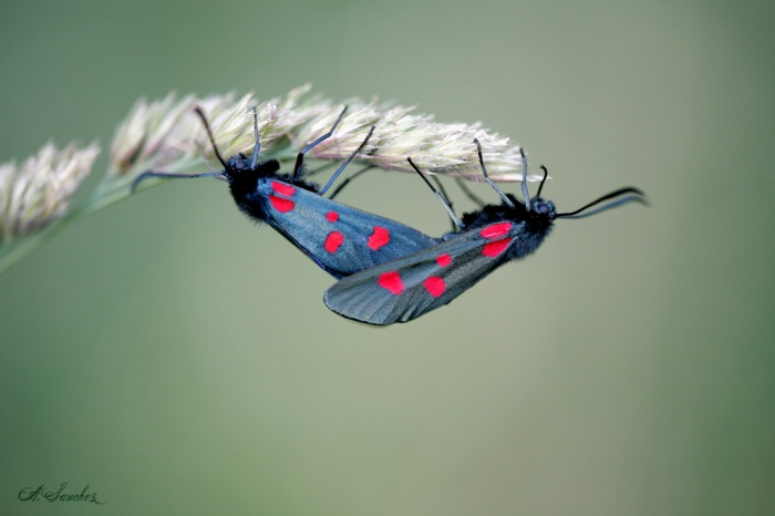 Zygaena Lonicerae by Sanchez Andreas on Flickr