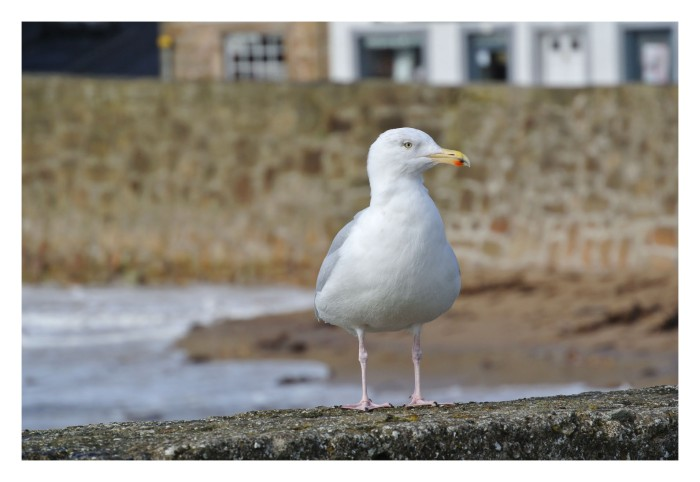 An Herring gull watching the harbour