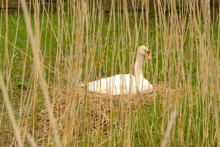 A mute swan in her nest