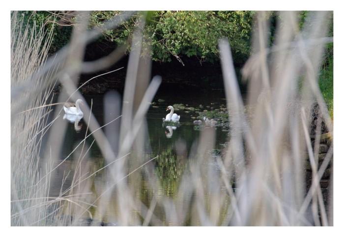 Little Swans Swiming