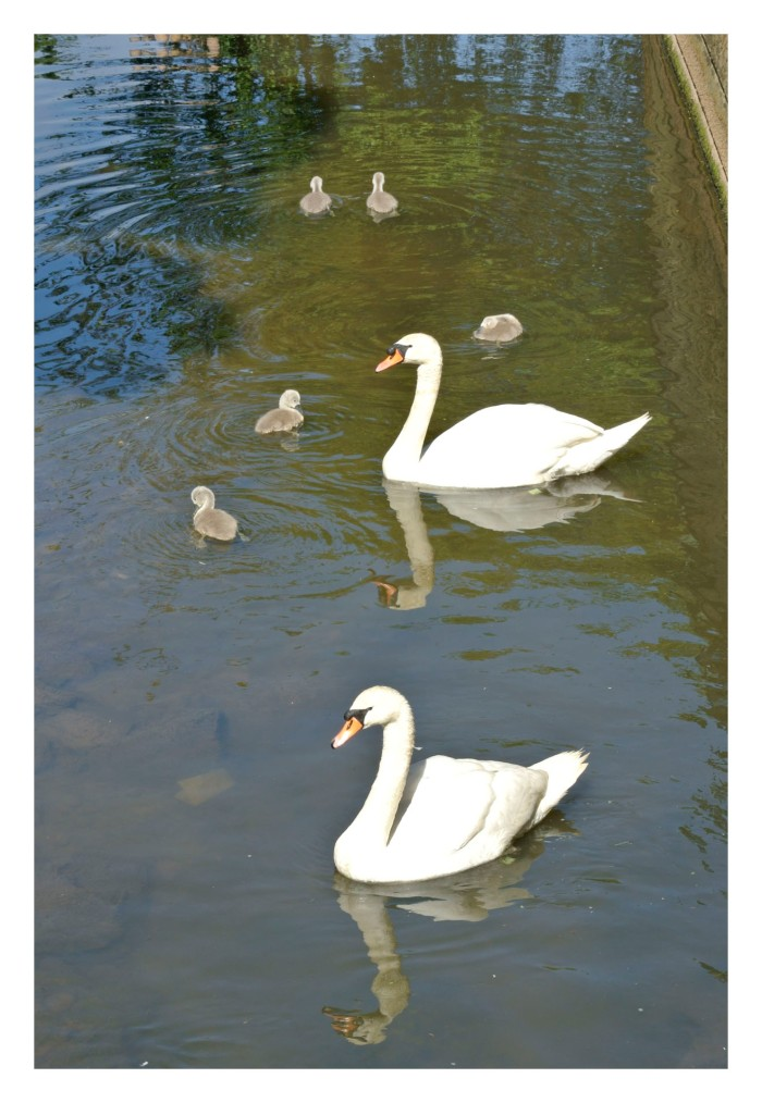 Swans in the Brae