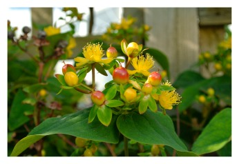 Berry flowers