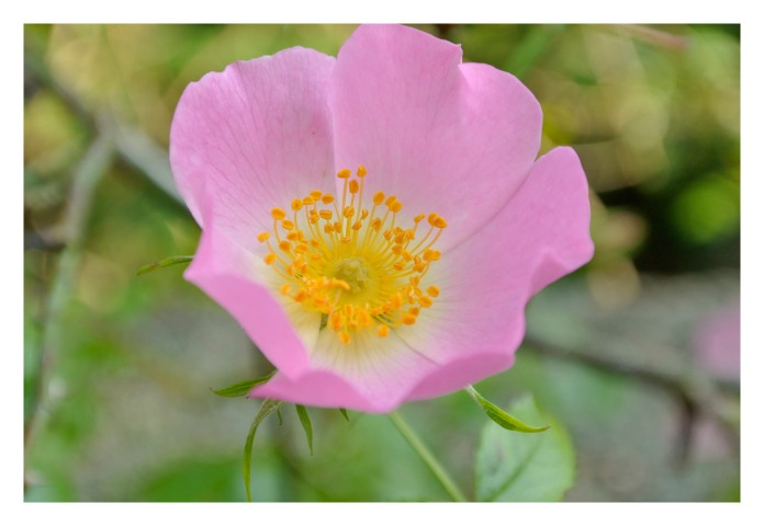 "Dog rose ""rosa canina"""