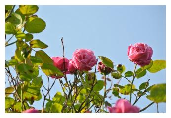 Garden roses