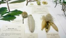 Glass Flowers at Harvard Natural History Museum