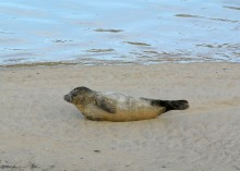 Young seal in St. Andrews harbour sandbank