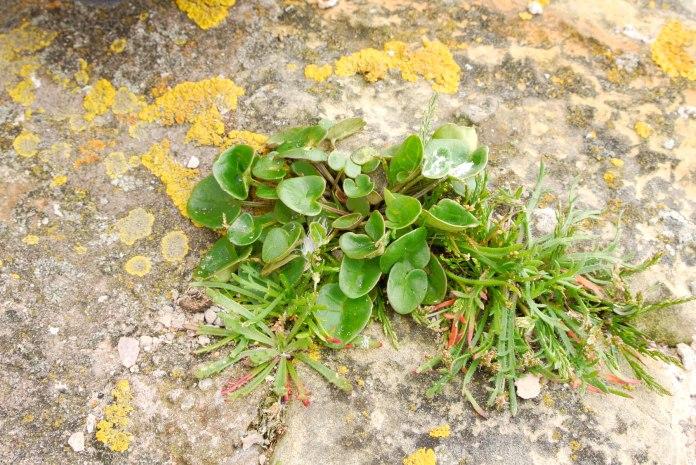 Scurvy grass