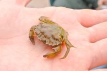 A green crab