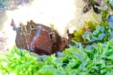 Sea hare munching on greens