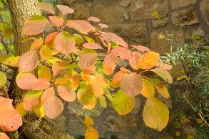 Reddening leaves