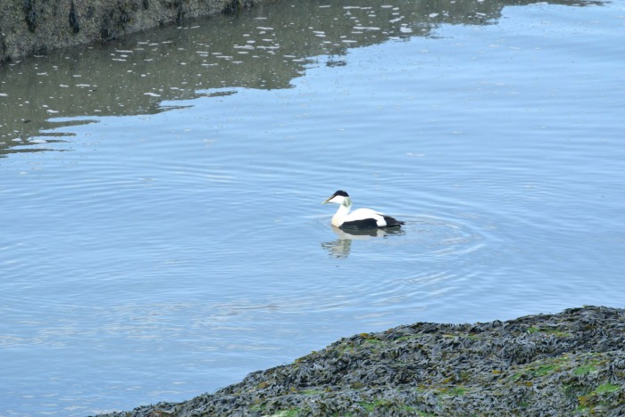 Eider, in St Andrews, Scotland.