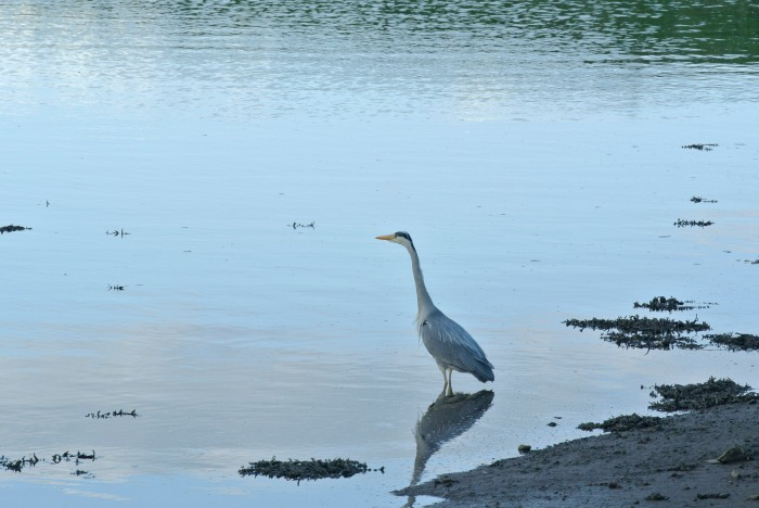 Grey Heron, at St Andrews harbour, Scotland