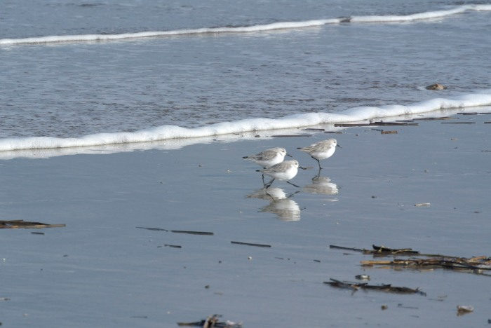 Sanderlings in St Andrews, Scotland