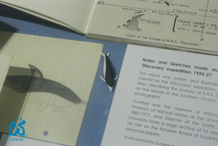 The Discovery Committee, set to monitor the whaling industry in the Antarctic, also came accross some new species of whales. In the middle, you can find the right whale dolphin.