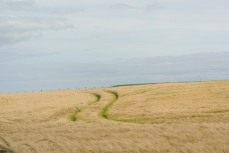 Undulating golden fields